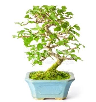 S zerkova bonsai kısa süreliğine  Uşak İnternetten çiçek siparişi