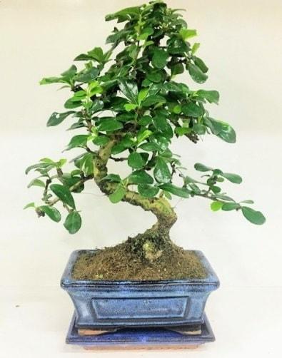 S Bonsai japon ağacı bitkisi  Uşak uluslararası çiçek gönderme
