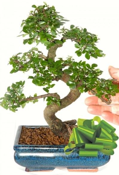 Yaklaşık 25 cm boyutlarında S bonsai  Uşak çiçek siparişi sitesi
