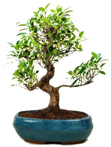 25 cm ile 30 cm aralığında Ficus S bonsai  Uşak çiçek gönderme sitemiz güvenlidir