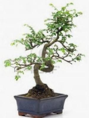 S gövde bonsai minyatür ağaç japon ağacı  Uşak çiçek satışı