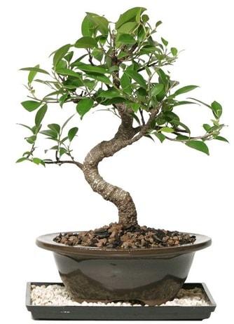 Altın kalite Ficus S bonsai  Uşak çiçekçi telefonları  Süper Kalite