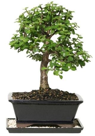 15 cm civarı Zerkova bonsai bitkisi  Uşak çiçek siparişi sitesi