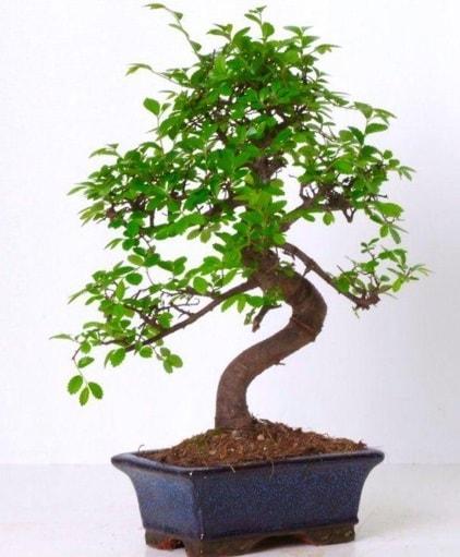 S gövdeli bonsai minyatür ağaç japon ağacı  Uşak çiçek gönderme sitemiz güvenlidir