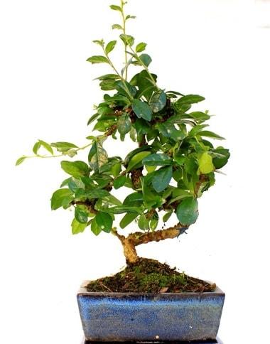 Bonsai Minyatür Ağaç Bonzai S Gövde  Uşak internetten çiçek satışı