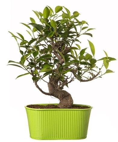 Ficus S gövdeli muhteşem bonsai  Uşak çiçek siparişi sitesi
