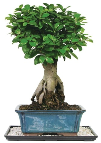 Bonsai Ginsing Grafted Ficus Bonsai  Uşak çiçek yolla