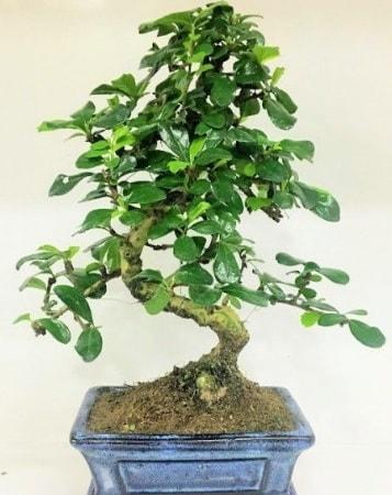 Zelkova S gövdeli Minyatür ağaç Bonzai  Uşak çiçek gönderme
