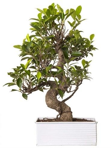 Exotic Green S Gövde 6 Year Ficus Bonsai  Uşak çiçek gönderme sitemiz güvenlidir