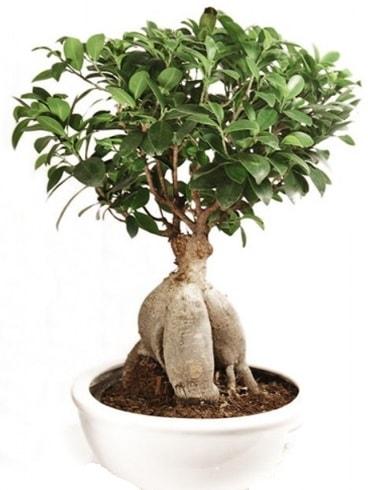 Ginseng bonsai japon ağacı ficus ginseng  Uşak İnternetten çiçek siparişi