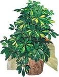 Uşak internetten çiçek siparişi  Schefflera gold